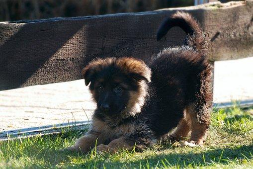 Schäfer Dog, Dog, Puppy, Pet, Animal, Dog Breeds