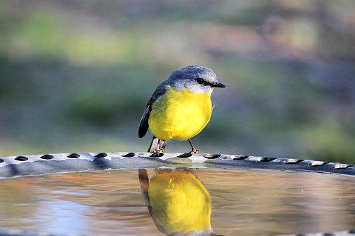 Eopsaltria Australis, Eastern Yellow Robin