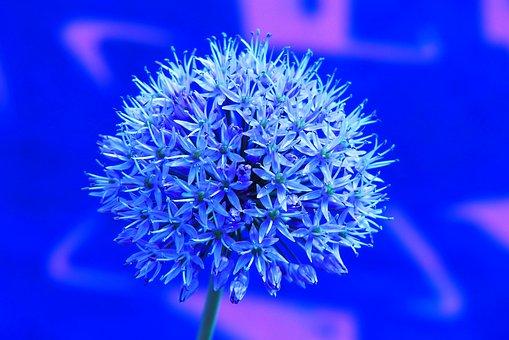 Decorative Garlic, Flower, Posts, The Petals, Blue