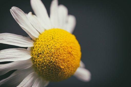 Marguerite, Flower, Blossom, Bloom, Composites