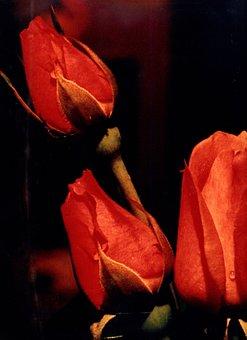 Flower, Rosa, Red, Dark, Night, Flowers, Nature