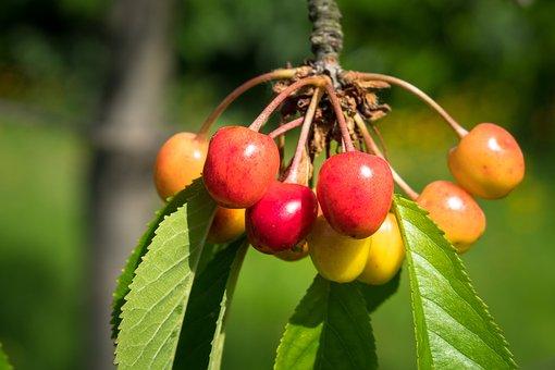 Cherries, Sour Cherries, Cherry Tree, Fruit, Fruit Tree