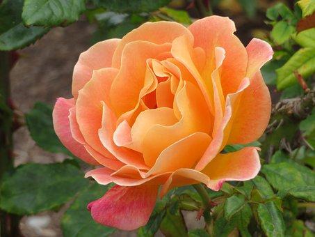 Floral, Rose, Orange, Bloom, Gardens