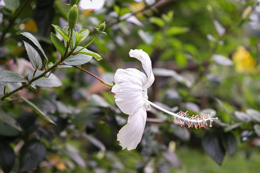 White, China Rose, Green, Leaves, Nature, Flower, Flora