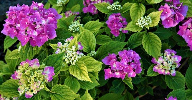 Hydrangea, Flowers, Pink, Petals, Leaves, Green, Plant