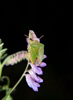 Green Stinkwanze, Macro, Green Beetle, Insect Macro