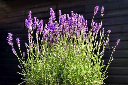 Lavender, Green, Purple, Nature, Violet, Flora