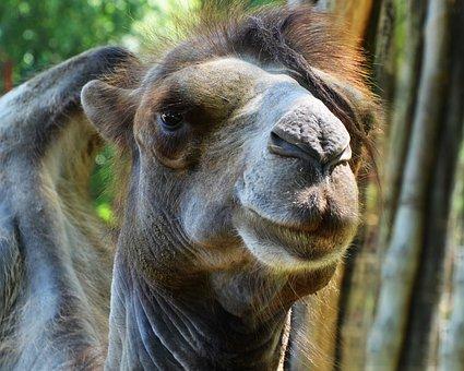 Camel, Portrait, Bump, Hunchback, Handsome, Hair