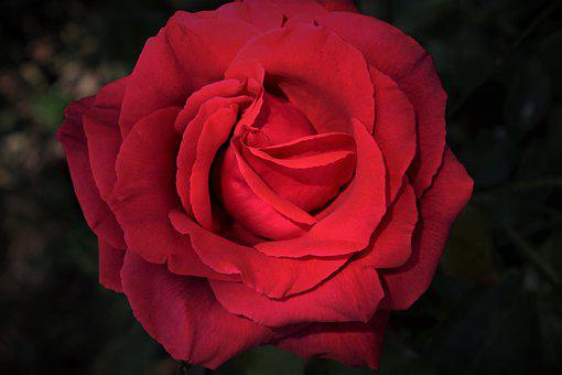Roses, Red, Blooming, Love, Rose, The Smell Of, Www