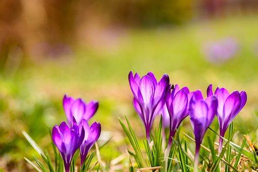 Saffron, Flora, Blooming, Macro, Crocus Heuffelianus