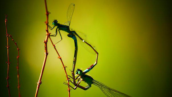 Damsel, Dragonfly, Nature, Mate, Dragonflies, Bug