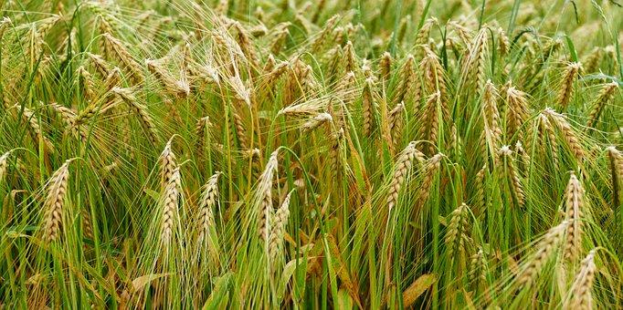 Nature, Landscape, Field, Cornfield, Agriculture, Bread