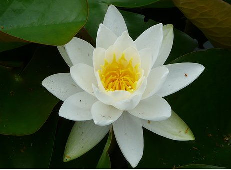 Flower, Water Lily, Aquatic, Summer, Plant, Nymphaea
