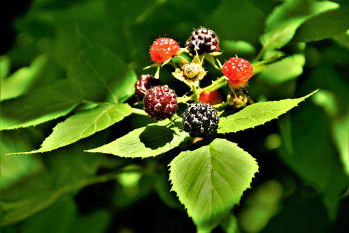 Raspberries, Colorful, Growing, On The Vine, Bush