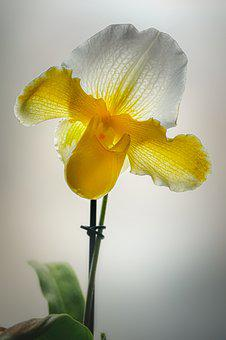 Orchid, Yellow, Flower, Plant, Nature, Close Up, Bloom