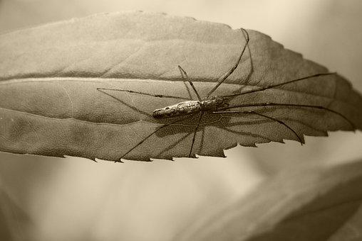 Arachnid, Scary, Hairy, Phobia, Leaf, Sepia, Mood