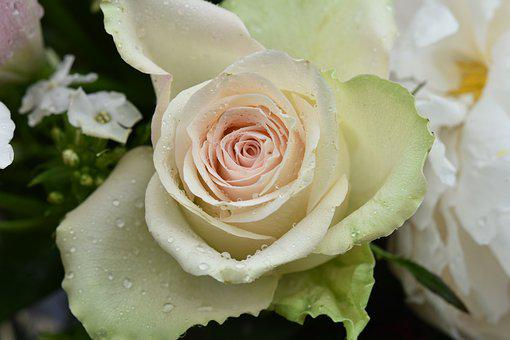 Flower, Pink, White Rose With Droplets Of Rain, Water
