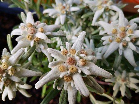 Edelweiss, Leontopodium, Plant, Mountain Flower