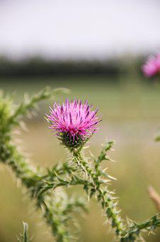 Thistle, Weed, Nature, Flower, Plant, Bloom, Summer
