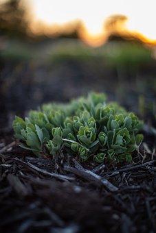 Dusk, Sedum, Plant, Wood Chips, Nature, Succulent