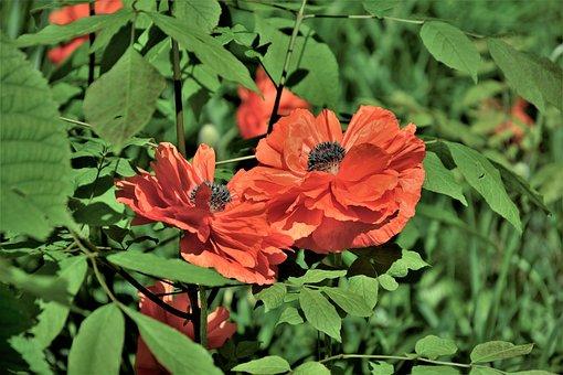 Flowers, Poppies, Polly Flowers, Closeup, Orange