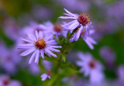 Flowers, Lilac, Nature, Violet, Purple, Vegetable