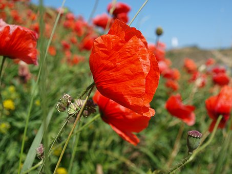 Poppy, Red, Flower, Flowering, Plant, Field, Closeup