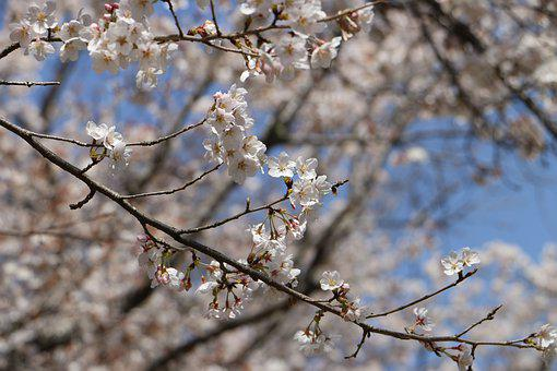 Japan, Cherry Blossoms, Flowers, Spring, Natural