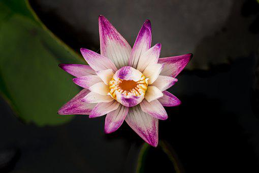 Flower, Blooming, Water, Lotus, Ao, Lily, The Leaves
