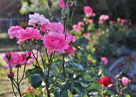Pink, Roses, The Flower, The Petals, Blooming, Garden