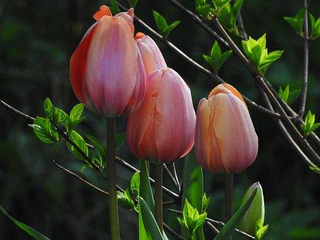 Tulips, Flower, Flowers, Spring, Plant, Tulip