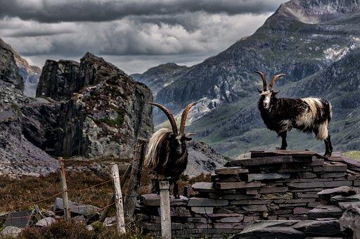 Goats, Mountain, Wales, Wild, Landscape, Uk, Nature