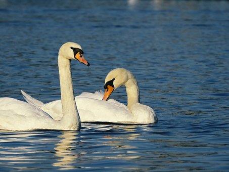 Water, Swans, Swan, Lake, White