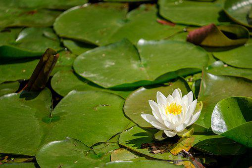 Water Lily, Nuphar Lutea, Water Rose, Flower
