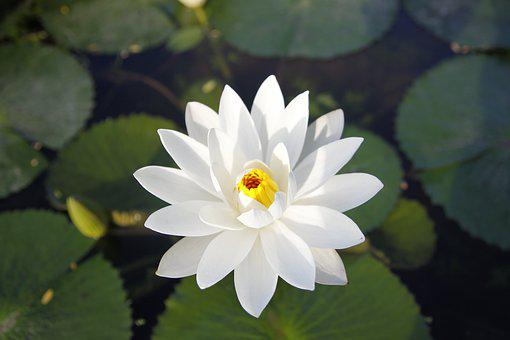 White Water Lily, Blooming, Pond, Thailand