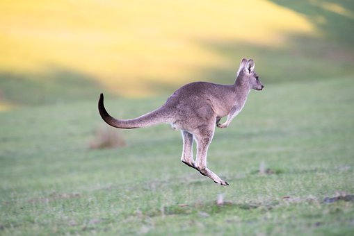 Kangaroo, Eastern Grey, Animal, Marsupial, Wildlife