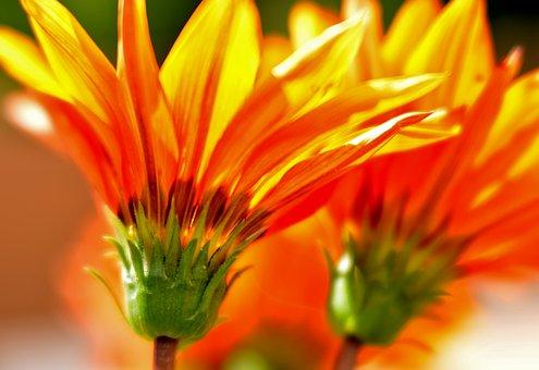 Gazania, Flowers, Yellow, Orange, Flower, Nature, Flora