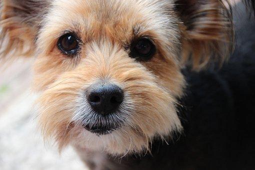 Dog, Mix, Yorkshire Terrier, Eyes, Hybrid, Dog Look
