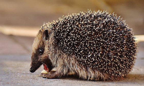 Hedgehog Child, Cute, Spur, Hedgehog, Young Hedgehog