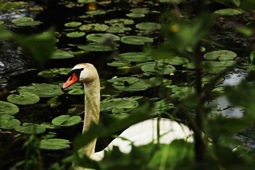 Swan, Lake, Water, Bird, Animal, Nature, Wildlife