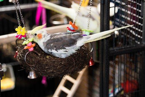 Cockatiel, Parrot, Bird, Pet, Australia, Animals, Avian