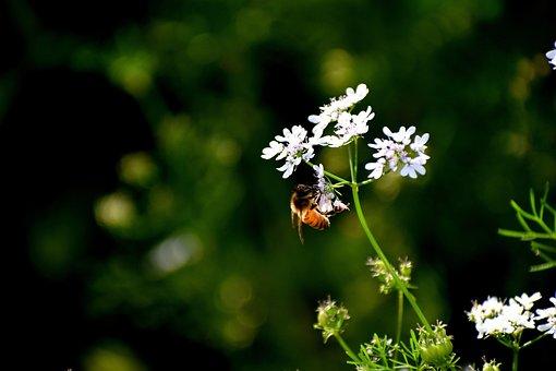 Honeybee, Nectar, Flower, Bloom, Pollen, Insect, Bee