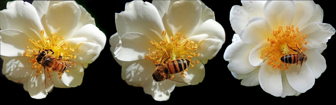 Flowers, Roses, Bees, Insects, Pollen, Garden, Nature