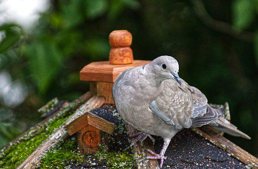 Collared, Bird, Plumage, Dove, Nature, Animal