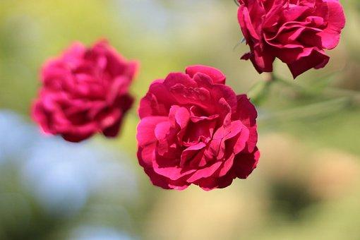 Rose, Rose Bloom, Leaves, Blossom, Bloom, Flower