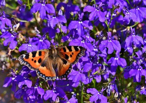 Butterfly, Bug, Little Fox, Butterflies, Wing, Summer