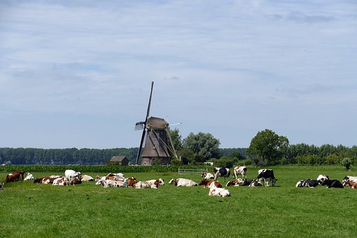 Cow, Mammal, Cattle, Farm, Pasture, Countryside, Mill