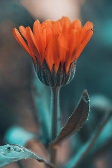 Flower, Orange, Nature, Foliage, The Petals, Climate