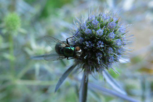 Goldfliege, Fly, Insect, Close Up, Bluebottle, Green