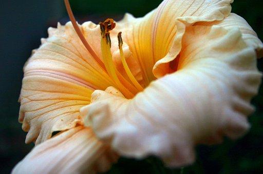 Daylily, Lily, Flower, Closeup, Garden, Gardening